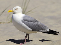 European Herring Gull Royalty Free Stock Image