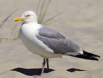 European Herring Gull Royalty Free Stock Image