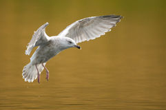 The European Herring Gull Royalty Free Stock Images