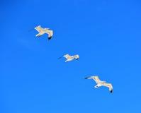 European herring gull Stock Photos