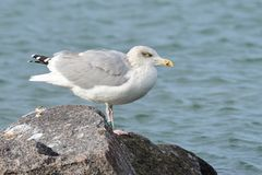 European herring gull in the baltic sea stock images