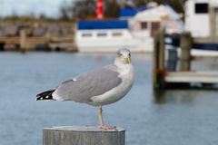 European herring gull in the baltic sea royalty free stock images