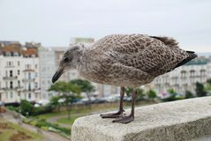 European Herring Gull chick Royalty Free Stock Photography