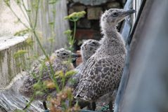 European Herring Gull chicks, England Royalty Free Stock Photo