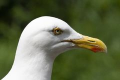 European Herring Gull with a red spot on the bill. stock photo