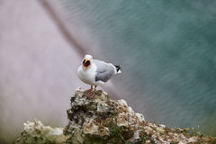 The European Herring Gull on the Etretat Cliffs. Image of The European Herring Gull (Larus argentatus) screaming on the top of the Etretat cliff in Upper Royalty Free Stock Photography