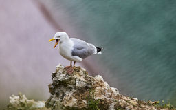 The European Herring Gull on the Etretat Cliffs Royalty Free Stock Photo