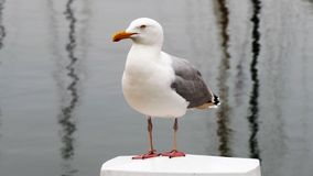 European herring gull. Sitting on a pale in a harbor royalty free stock photo
