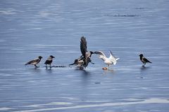 European herring gull fighting hooded crows for a fish on the ice of frozen lake in spring Royalty Free Stock Images