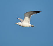 European herring gull in flight Stock Photo
