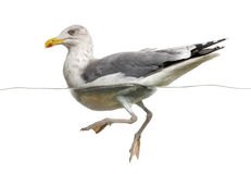 European Herring Gull floating in the water, Larus argentatus Stock Photo