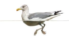 European Herring Gull floating in the water, Larus argentatus Royalty Free Stock Image