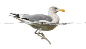 European Herring Gull floating in the water, Larus argentatus Stock Images