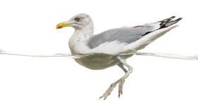 European Herring Gull floating in the water, Larus argentatus Stock Image