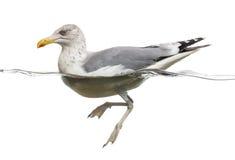 European Herring Gull floating in the water, Larus argentatus Royalty Free Stock Photos