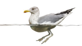 European Herring Gull floating in the water, Larus argentatus Stock Photography