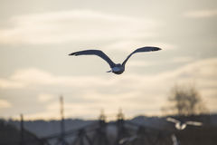 European herring gull flying into the sunset Royalty Free Stock Image