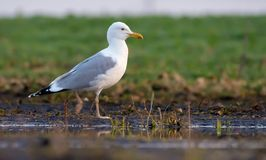 European herring gull goes on wet shore near a field puddle in search of feeding stock images