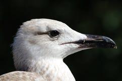 European Herring Gull. Juvenile European Herring Gull portrait Stock Photo