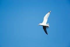 European Herring Gull, Larus argentatus Stock Photos