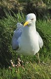 European Herring gull (Larus argentatus) Royalty Free Stock Photos