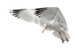 European Herring Gull, Larus argentatus Stock Photo