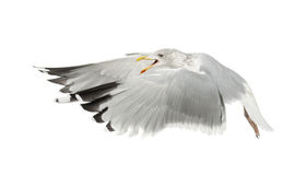 European Herring Gull, Larus argentatus Royalty Free Stock Photography