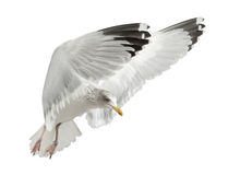 European Herring Gull, Larus argentatus Stock Photography