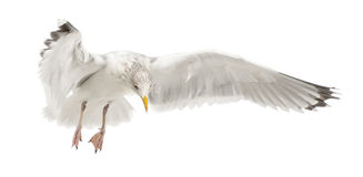 European Herring Gull, Larus argentatus Stock Images