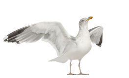 European Herring Gull, Larus argentatus Royalty Free Stock Photos
