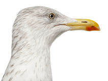 European Herring Gull, Larus argentatus Stock Photos