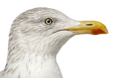 European Herring Gull, Larus argentatus Royalty Free Stock Images