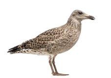 European Herring Gull, Larus argentatus Stock Image