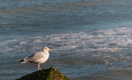 European Herring Gull Royalty Free Stock Images