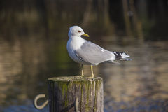 European herring gull, larus argentatus Stock Photo