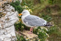 European Herring Gull - Larus argentatus at rest, Yorkshire. European Herring Gull - Larus argentatus in breeding plumage at rest surrounded by Oxeye Daisies on royalty free stock photo