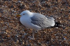 European Herring Gull Larus argentatus. On Eastbourne Beach Stock Photos