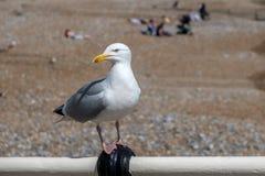 European Herring Gull. Larus argentatus royalty free stock images