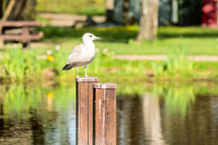 European herring gull (Larus argentatus) Stock Photography