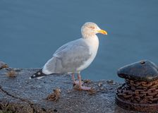 European Herring Gull - Larus argentatus at rest. European Herring Gull - Larus argentatus in winter plumage resting on the edge of a quay in Norfolk as the sun stock image
