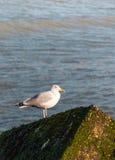 European Herring Gull Stock Photography