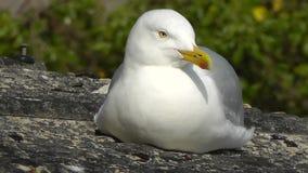 A European herring gull ( Larus argentatus) stock video