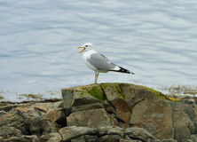 European herring gull Larus argentatus. Tromso Stock Photography
