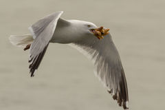 European herring gull Royalty Free Stock Photos