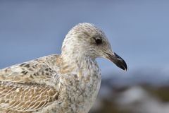 European herring gull Royalty Free Stock Photography