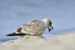 European herring gull Royalty Free Stock Photos