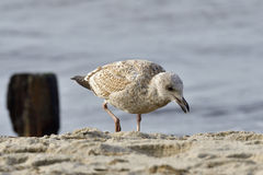 European herring gull Stock Photos