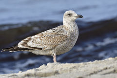 European herring gull Stock Photography