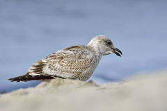 European herring gull Stock Image