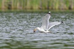 European herring gull Royalty Free Stock Images